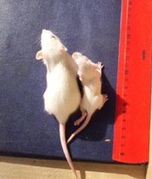 GMO rat study smaller rats