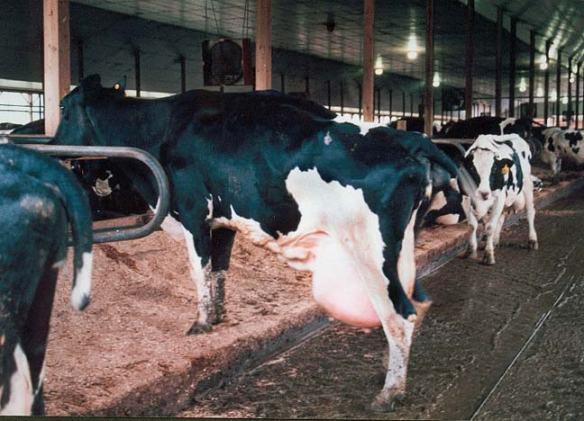 rbgh cows