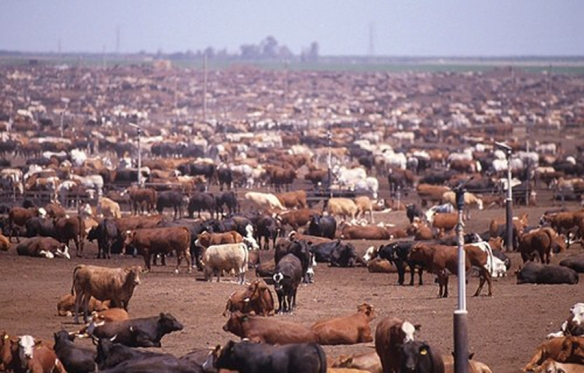 CAFO beef industry
