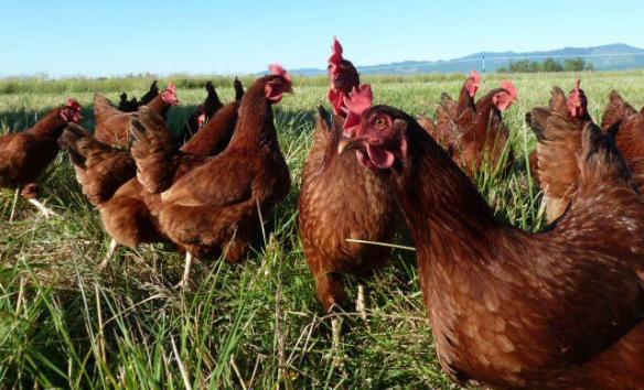 Chickens pasture Ode to Joy Farm crop