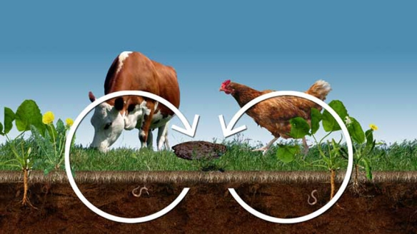 Cows Chickens Cycle