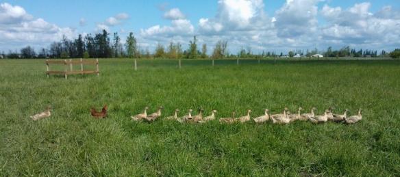 Ducks in field Ode to Joy Farm