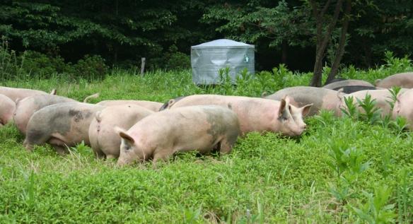 Polyface farm Pigs in grass